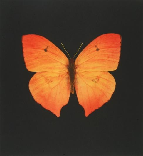Damien Hirst:The Souls on Jacob's Ladder Take Their Flight (Large Orange Butterfly)