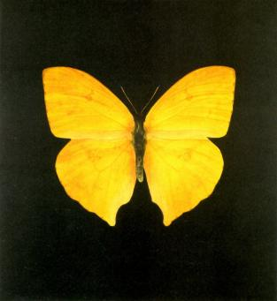 Damien Hirst:The Souls on Jacob's Ladder Take Their Flight (Large Yellow)